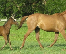 Heart Throb and Foal